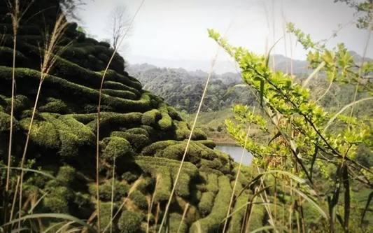 昔日软件工程师 跨行研究老川茶 邀你品尝原生态春天的味道插图9